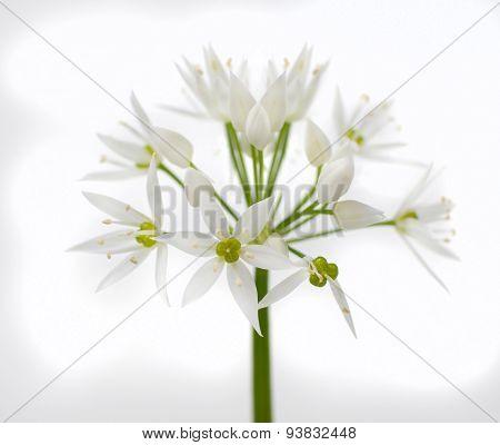 Wild Bear Garlic Flower Isolated On White