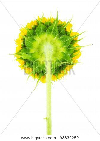 Underside Of Sunflower