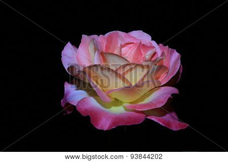 Rose pink isolated on black background