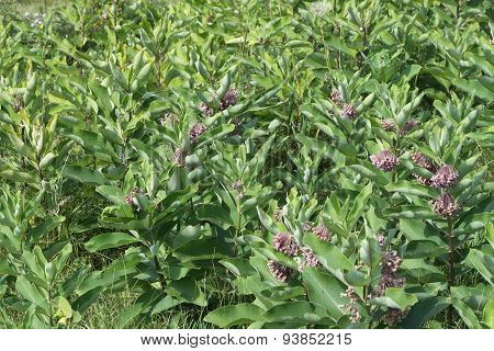 Milkweed Plant (Flowering)
