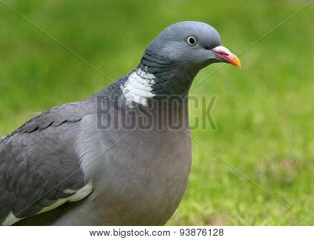 Wood Pigeon or Stock Dove