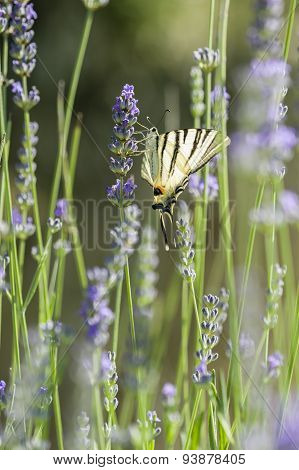 Scarce Swallowtail (iphiclides Podalirius) Butterfly