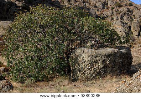 Relict tree Pistacia atlantica in the Crimean mountains.