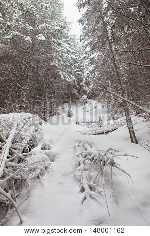 fabulous winter forest with big trees coverd by snow