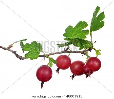 gooseberry branch isolated on white background