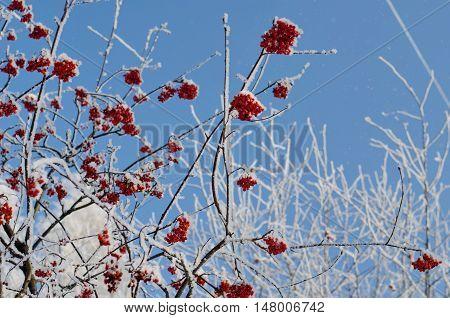 Rowanberry And Blue Sky