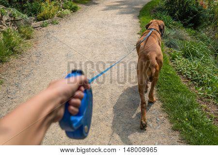 Young woman walking a Fila Brasileiro breed dog in park