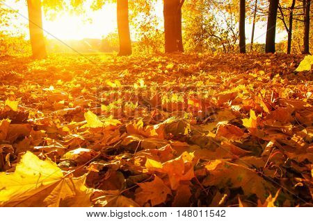 fallen leaves in autumn forest on sun