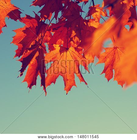 Autumn leaves on sky. Toned efect