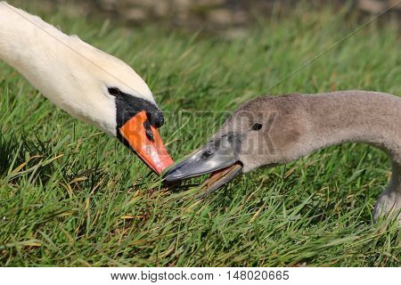 A Mute Swan feeding beside it's cygnet