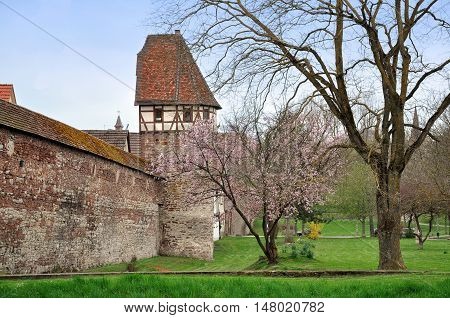 Castle in Weil der Stadt, Baden-Wurttemberg, Germany. Stone wall and half-timbered tower with tiled roof. Green grass and blooming pink tree in spring in the foreground.