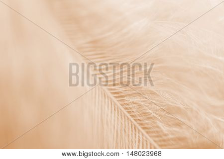 soft focus on fluffy Sepia tonned feather