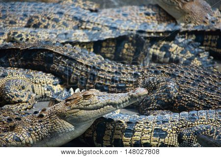 Animal photo image of young crocodiles sunbathing in croc farm crocodylus porosus