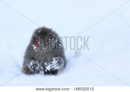 snow monkey gathering food and eating ice