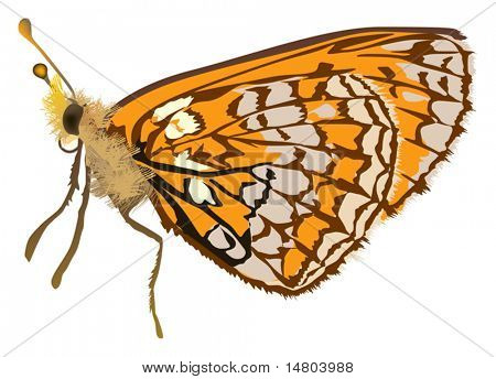 illustration with orange butterfly isolated on white background