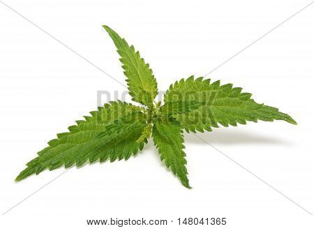 Ripe nettle isolated on the white background
