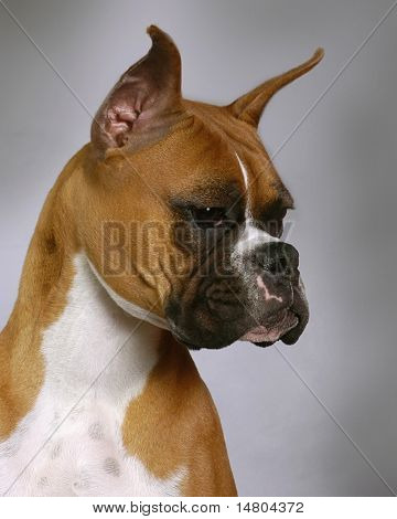 A portrait of a American Boxer dog
