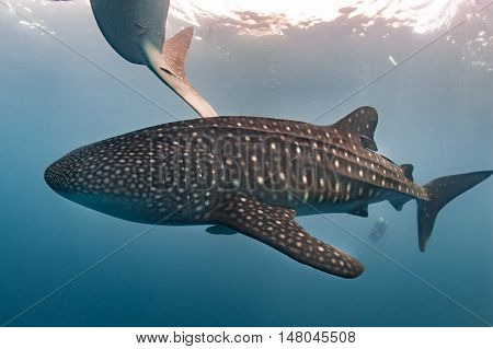 Whale Shark Coming To You Underwater Close Up Portrait