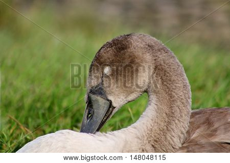 A Mute Swan cygnet sleeping on a river bank