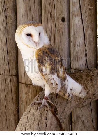 A barn owl sits on it's perch