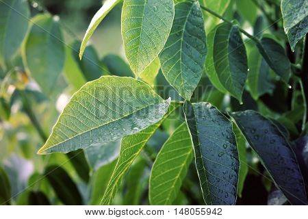 Green walnut tree young leaves close up