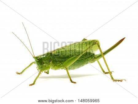 Green grasshopper isolated on the white background