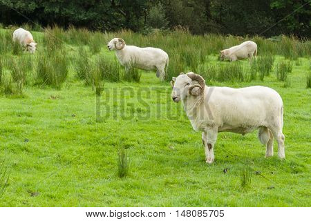 Welsh Mountain sheep flock a hardy breed suited to the harsh mountain ranges of Wales