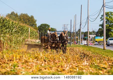 Witmer PA - September 12 2016: An Amish farmer drives a team of mules pulling a corn wagon in Lancaster County.