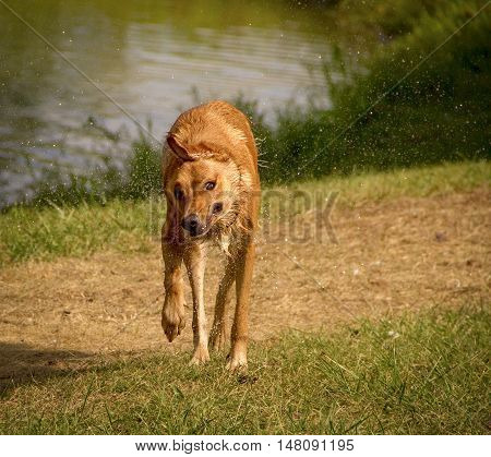 Sweet tan dog shaking off water as walking towards viewer with pond in background