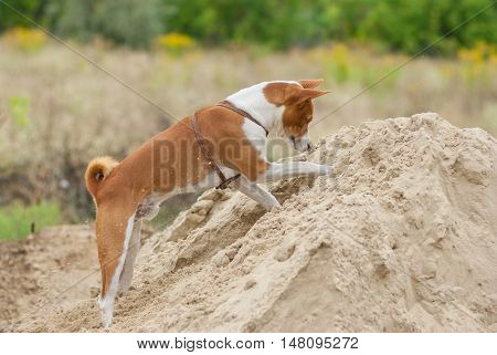 Basenji dog in hunting stage - digging hole on a pile of sand searching small rodents