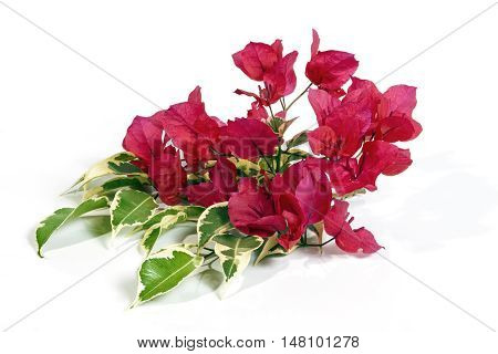 Bright Pink Bougainvillea Flowers With Variegated Leaves