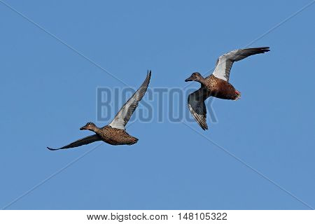 Northern shovelers (Anas clypeata) in flight with blue skies in the background