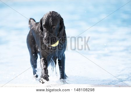 Dog English Cocker Spaniel coming out of swimming pool with yellow ball