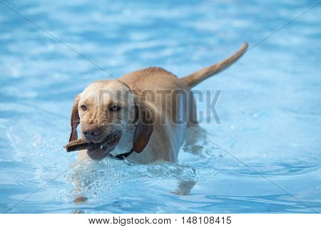 Dog fetching wood from swimming pool blue water