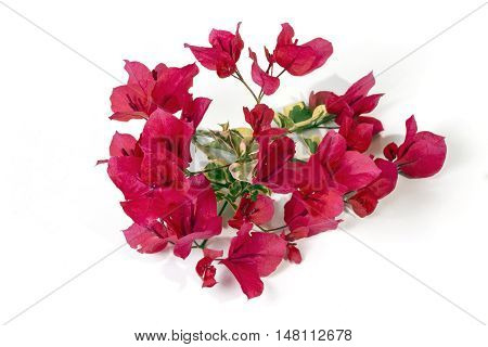 Pink Bougainvillea Flowers With Variegated Leaves On White Background