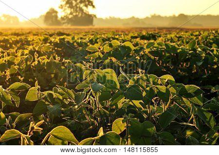 Field of soybean in warm early morning light