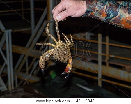 Underwater hunter holding the leg of walking just caught Black Sea stone crab