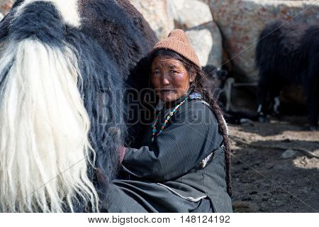 Tibetan Woman With Yak In Ladakh, North India