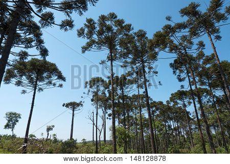 Araucaria tree (Araucaria angustifolia) pine nature forest