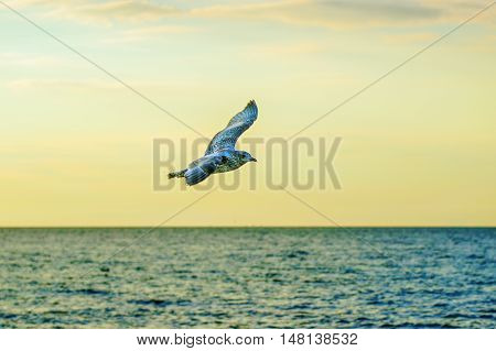 Seagull over sea against sky. Flying birds. European herring gull. Larus argentatus
