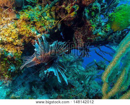 Lionfish (pterois) Near Coral,s Cayo Largo, Cuba