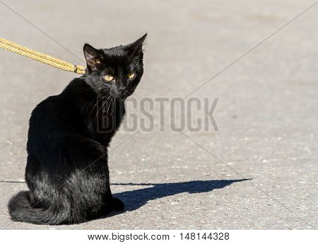 little kitten with big yellow eyes, is sitting on the pavement on a fabric leash, walk on a sunny day, black hair shining in the sun,  looking at the camera, portrait from the back