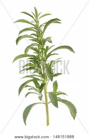 stevia rebaubena substitute of suggar on white