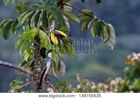 Chestnut Mandibled Toucan - Ramphastos Ambiguus Swainsonii