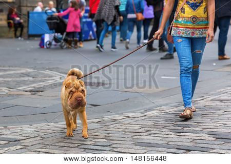 Woman Walking With A Shar Pei Dog