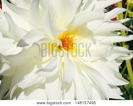 Lacey white Dahlia, close up with petals opening.