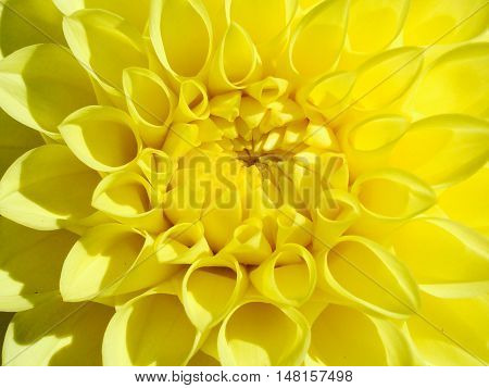 Bright vibrant yellow close up of Dahlia opening its petals and form.