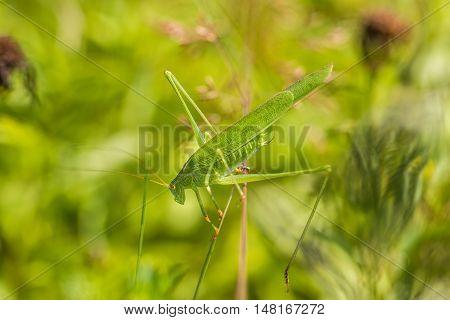 Great Green Bush-cricket A Top Of Blades