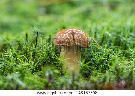 Wet Bay Bolete (imleria Badia) Mushroom In Green Moss