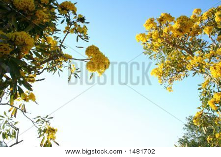 Yellow Tabebuia Flowers Against Blue Sky
